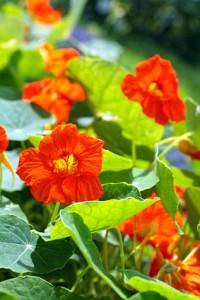 Die Kapuzinerkresse kann als Heilpflanze bei Scharlach-Symptomen zum Einsatz kommen.